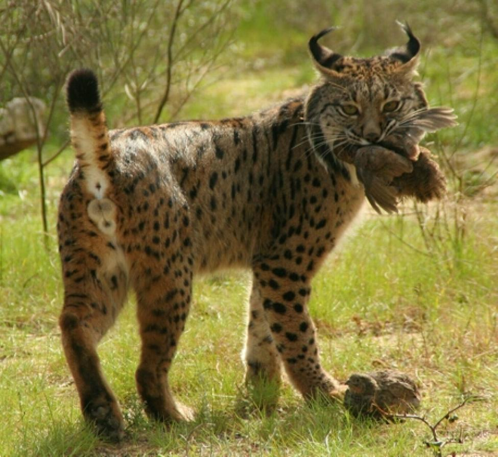Iberian_Lynx_eating_bird